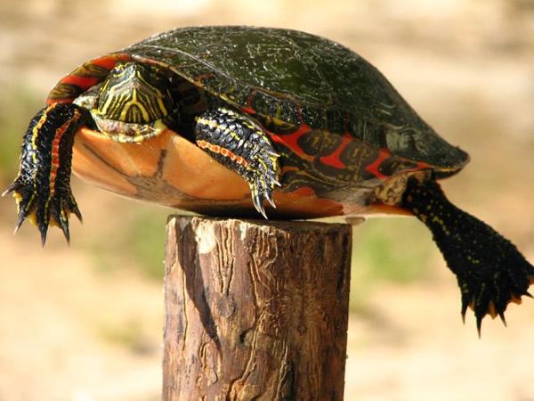 La tortuga en el Poste. Humor para las elecciones del 20N